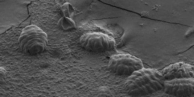 Six tardigrades déshydratés. Tête et pattes sont recroquevillées sous la cuticule. Dans les cellules, le métabolisme est figé dans une matrice vitreuse. © Thomas Boothby