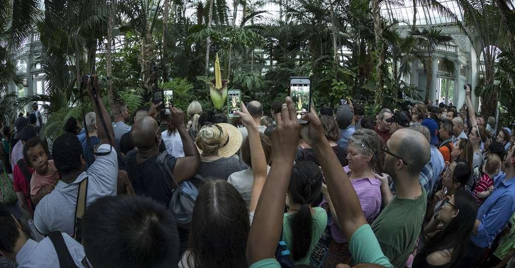 En juillet 2016, au jardin botanique de New York, un Arum titan a fleuri, attirant une foule de visiteurs. © lev radin, Shutterstock