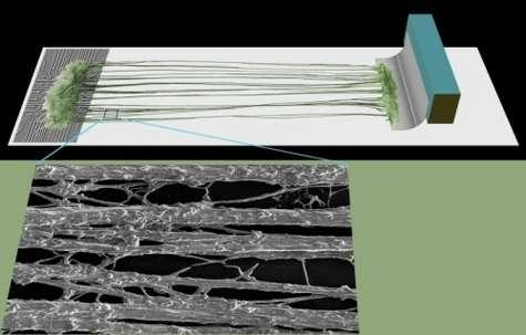 A gauche, les neurones poussent sur une puce électronique et ceux vivant à droite croissent sur un faisceau d'électrodes. Entre les deux, des fibres nerveuses (des axones) grandissent lentement tandis que le plateau de gauche s'éloigne à vitesse très faible. Le gros plan montre un microphotographie de ces fibres. Quand la longueur obtenue est suffisante, l'interface bionique est fabriquée. Crédit : Douglas Smith, MD, University of Pennsylvania School of Medicine