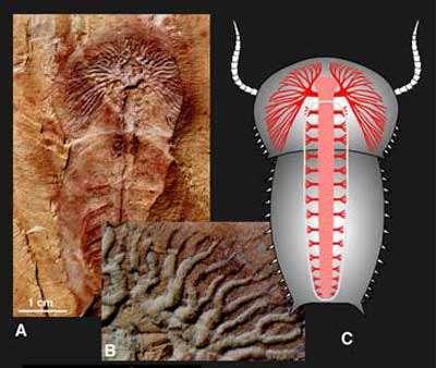 Complexité du système digestif chez les arthropodes du Cambrien inférieur. © DR