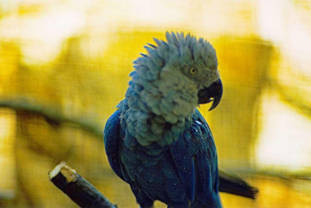Certaines personnes sont prêtes à payer plus de 60.000 euros pour un perroquet bleu du Brésil. © Julien1978, Wikipedia, CC by-sa 3.0