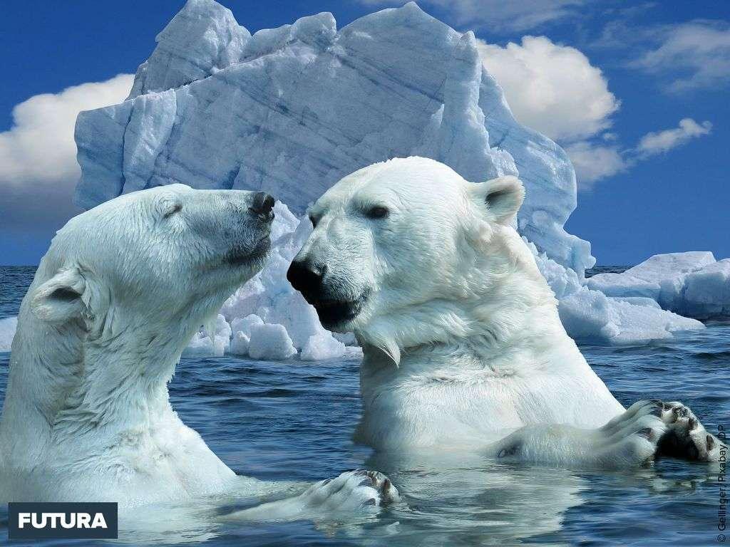 Ours blanc sur la banquise