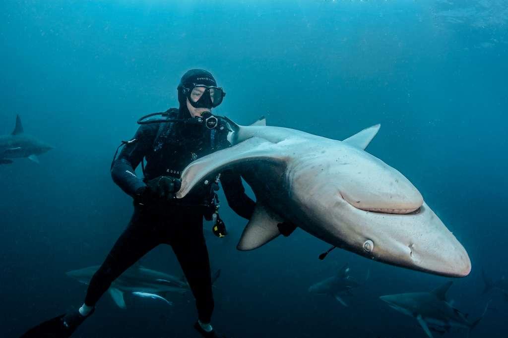 Sur le récif de Aliwal Shoal en Afrique du sud, une communauté de requins-bordés (Carcharhinus limbatus) a élu domicile. Ils sont très régulièrement les victimes de la pêche sportive locale et les requins sont mutilés d'hameçons ! Sur les conseils de Walter Bernardis, une personnalité emblématique de la région, Steven s'est exercé à la pratique de l'immobilité tonique en pleine eau afin de retirer les hameçons sur des individus adultes. © David Guillemet, Tous droits réservés