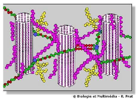 Figure 12 - Architecture schématique de la paroi. Entre les microfibrilles de cellulose qui constituent la trame, des molécules d'hémicelluloses (ici, xyloglucanes en violet) assurent les liens. D'autres molécules très complexes (pectines en jaune, vert et rouge) constituent le reste de la matrice.
