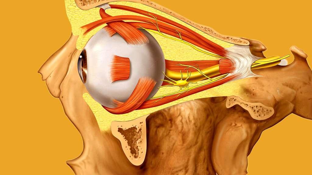 Mouvements de l'œil et nerf optique