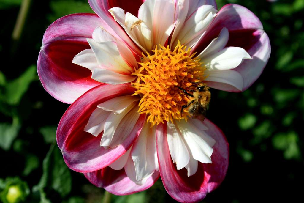 Dahlia Rumble. © Michel Caron