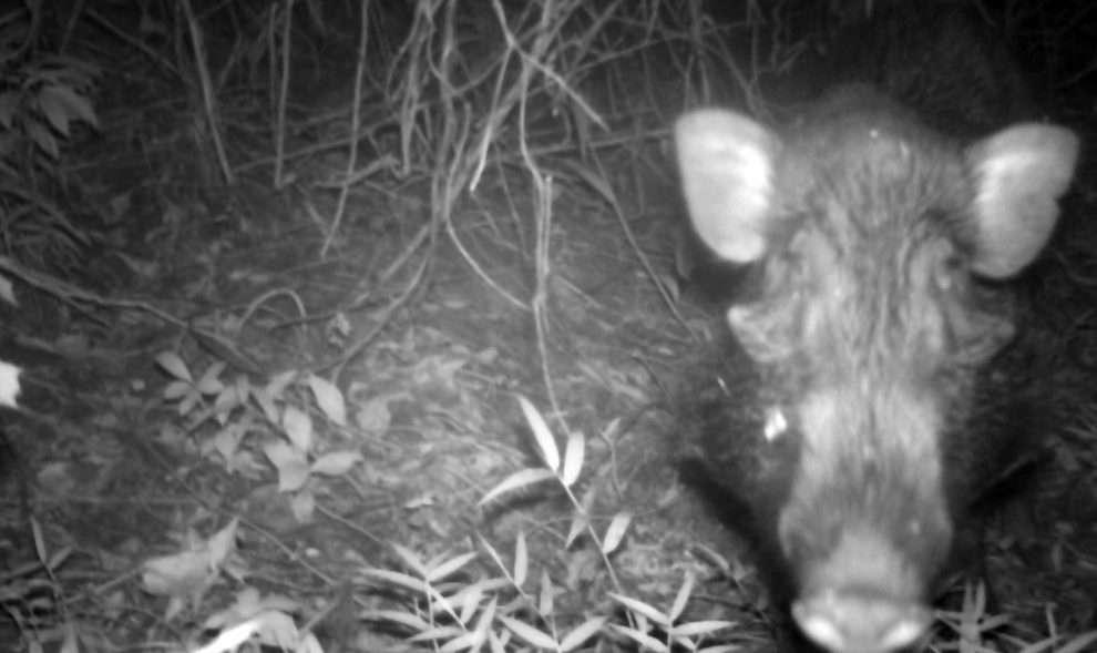Le porc verruqueux de Java — que l'on ne trouve nulle part ailleurs que sur cette île — présente une taille identique à celle des sangliers européens. Il est toutefois plus mince et sa tête est plus allongée. © Act for Wildlife, Zoo de Chester