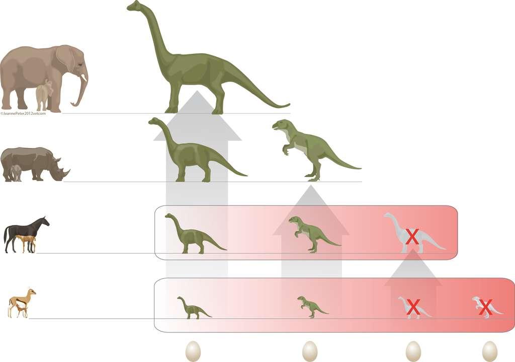 Les mammifères de différentes tailles (à gauche) occupent plusieurs niches écologiques. Leurs petits ne doivent pas lutter pour obtenir de la nourriture puisqu'ils sont allaités. Les dinosaures ovipares (à droite) occupent les niches selon de leurs tailles. Cependant, à cause des contraintes de l'oviparité, tous les jeunes naissent avec à peu près la même (petite taille). Durant leur croissance, les futurs grands dinosaures passent donc d'une niche à l'autre, entrant en compétition avec diverses espèces, jusqu'à les faire disparaître. Celles-ci n'ont donc pas pu compenser la disparition des plus grands reptiles lors de la crise biologique du Crétacé-Tertiaire. Voilà pourquoi les dinosaures ont disparu. © Jeanne Peter, Universität Zürich