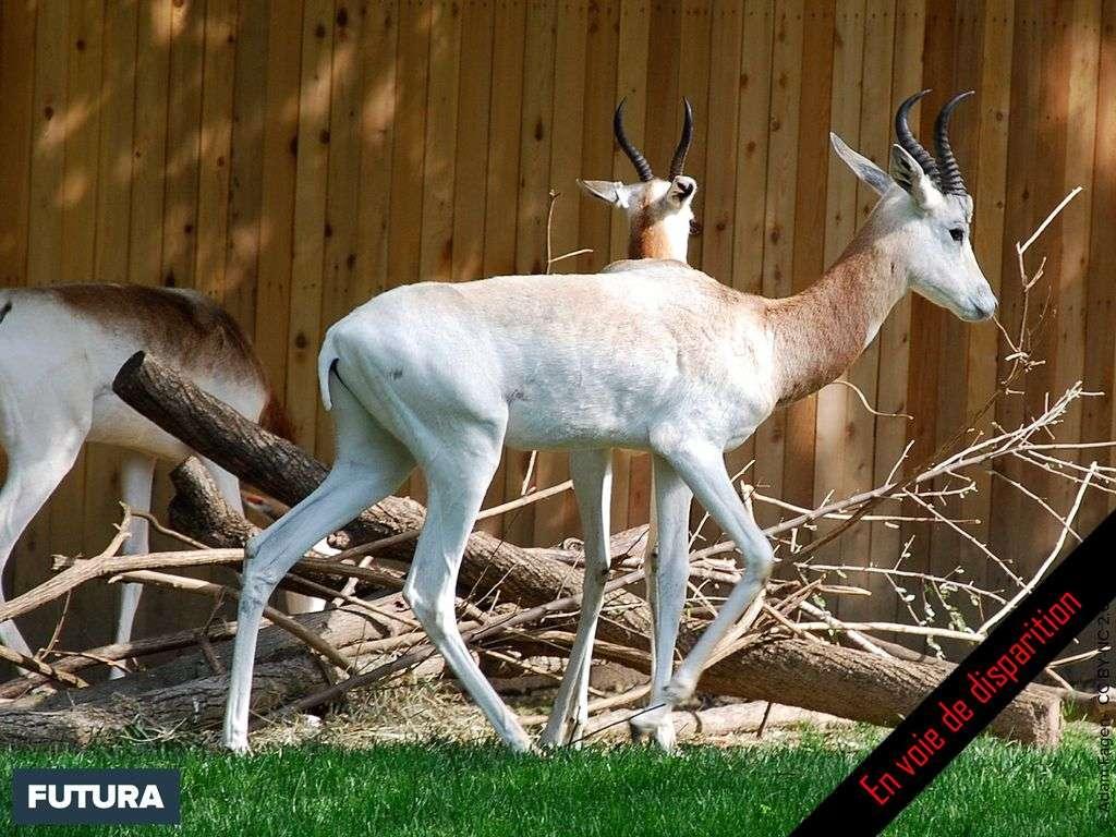 Gazelle de Speke