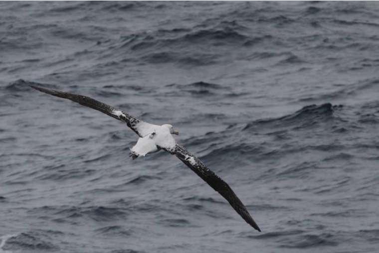 Grand albatros équipé d'une balise au large des Kerguelen. © C. Matheron, Taaf