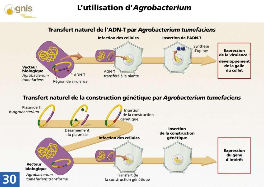 Dans la nature, la bactérie transfère une partie de son plasmide dans les chromosomes de la plante qui est transmise aux générations suivantes. Certains gènes vont alors induire la synthèse d'opines, d'autres entraînant la formation d'une galle ou de racines anormales. Dans les expérimentations génétiques, la même bactérie est utilisée pour intégrer les gènes désirés dans la plante, grâce à un plasmide modifié. © Gnis