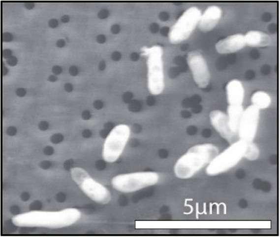 La bactérie GFAJ-1 cultivée avec du phosphore. © Jodi Switzer Blum