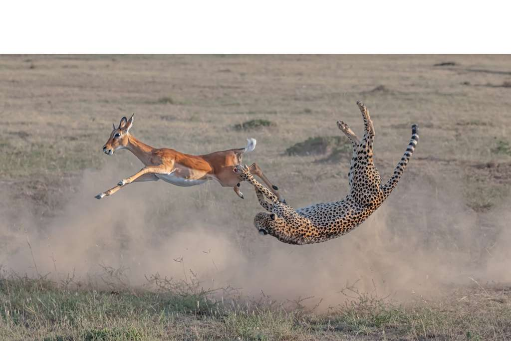 Cheetah hunting in Maasai Mara. © Yi Liu, BigPicture Natural World Photography Competition