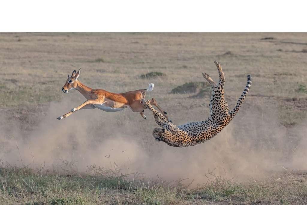 Cheetah hunting in Maasai Mara. © Yi Liu, BigPicture Natural World Photography Competition