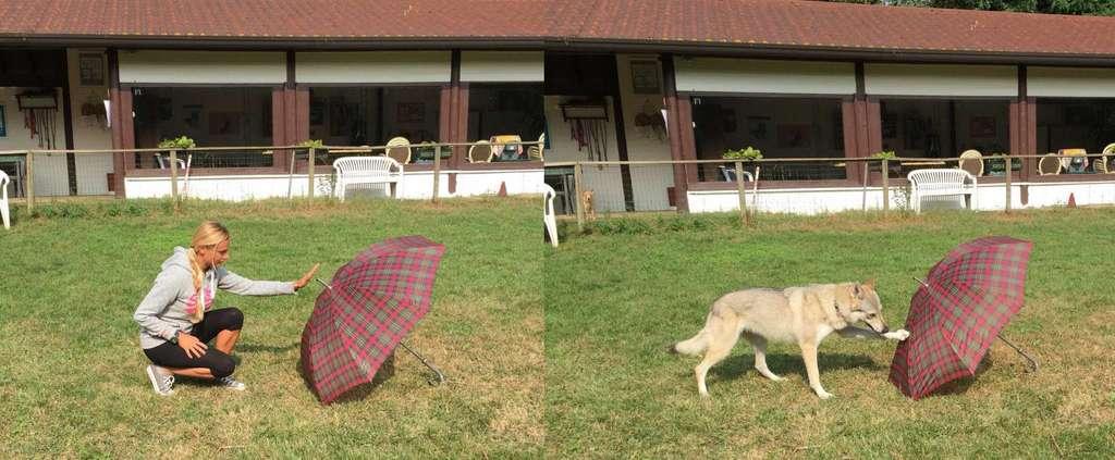 La méthode du « fais comme j'ai fais » : le chien a vu l'expérimentatrice aller toucher le parapluie. Lorsqu'elle lui en donne l'ordre, l'animal va effectuer le même geste. Cet entraînement préalable a permis ensuite de vérifier que le chien peut se souvenir d'un geste de ce genre qu'il a vu incidemment, sans y prêter une attention particulière, dans une précédente interaction avec un humain. © Claudia Fugazza et al.