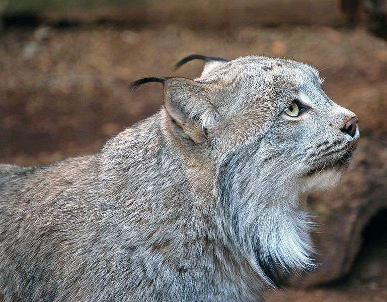 Lynx du Canada. © Art G, Creative Commons Attribution 2.0 Generic license