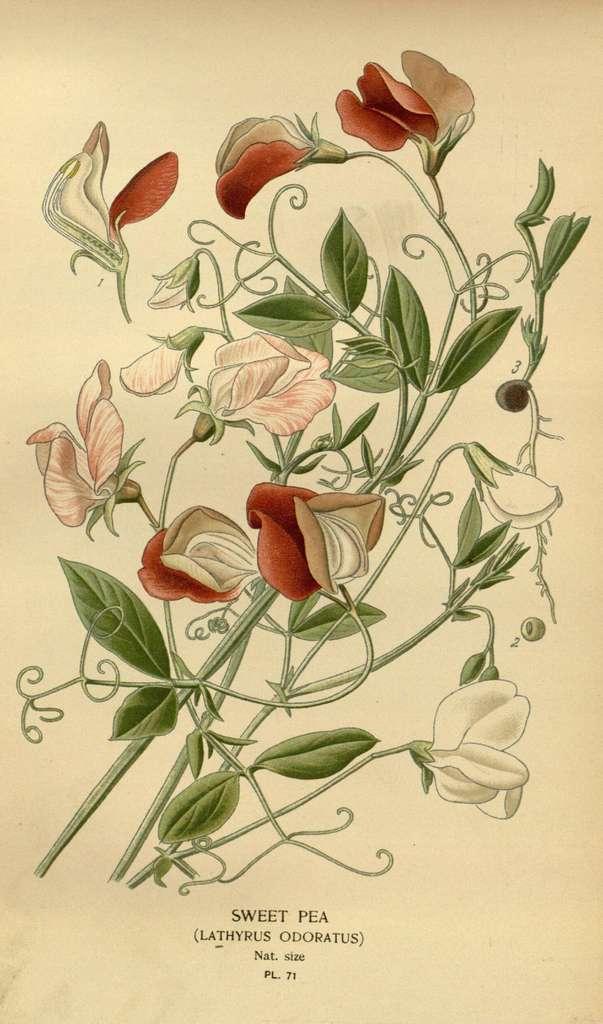 Illustration du Lathyrus. © BHL, Domaine public