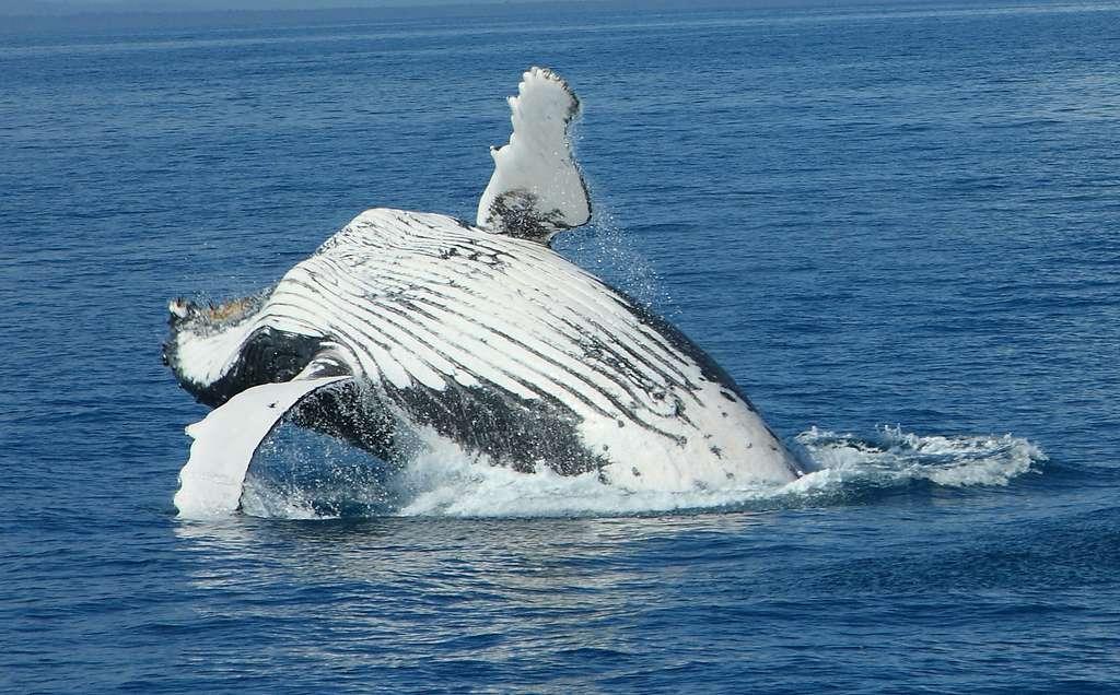 Les baleines, comme ce rorqual bleu, avalent de grandes quantités d'eau contenant du krill, de petits animaux dont elles se nourrissent. Ne disposant pas de dents mais seulement de fanons filtrants, ces cétacés ne peuvent pas mâcher et faire ressortir la saveur des aliments : le goût ne leur est pas indispensable. © Michael Dawes, Fotopedia, cc by nc 2.0