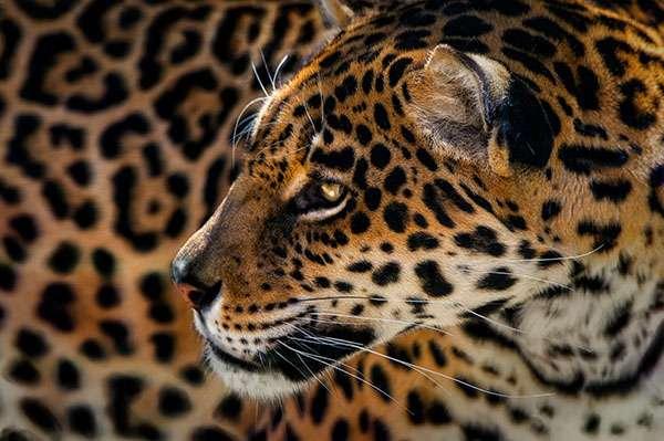 Il est le plus grand félin d'Amérique. Pourtant, le jaguar est aujourd'hui menacé. Par la dégradation de son environnement, notamment. Une dégradation qui le pousse de plus en plus à chasser le bétail. Provoquant la rage des éleveurs. Pour le sauver, il faudra donc aussi réussir à redorer son blason auprès des hommes qui le côtoient. © Pedro Jarque Krebs, tous droits réservés