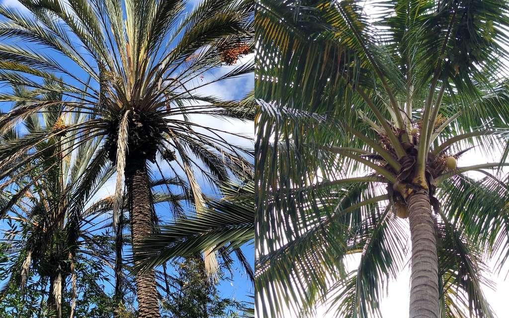 À gauche, un dattier (Phoenix dactylifera) et à droite, un cocotier (Cocos nucifera). © lukasdizzle, sarajanelle, iNaturalist