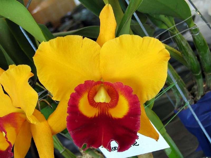 Orchidée Chunyeah