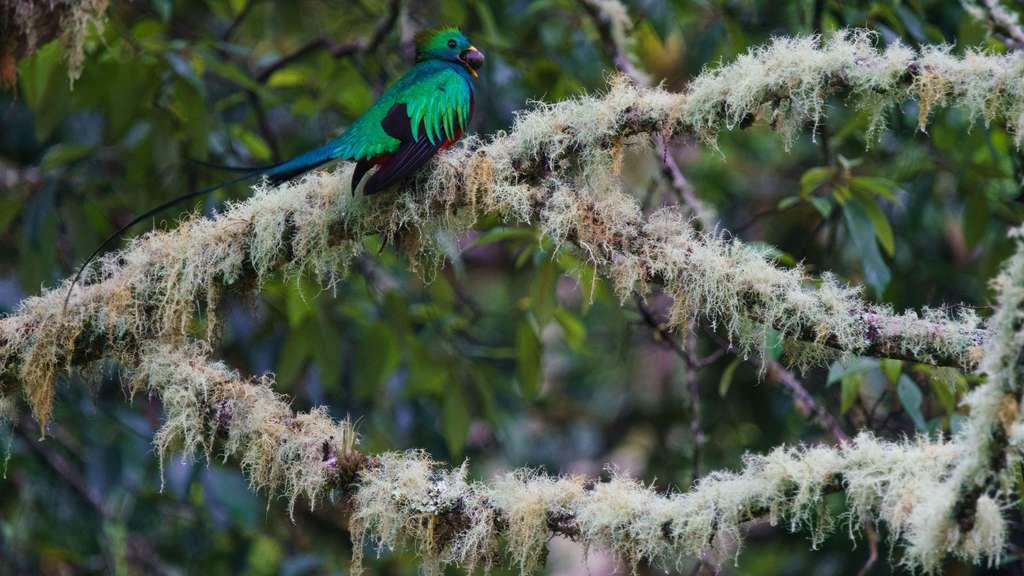 Le Quetzal resplendissant, l'oiseau sacré