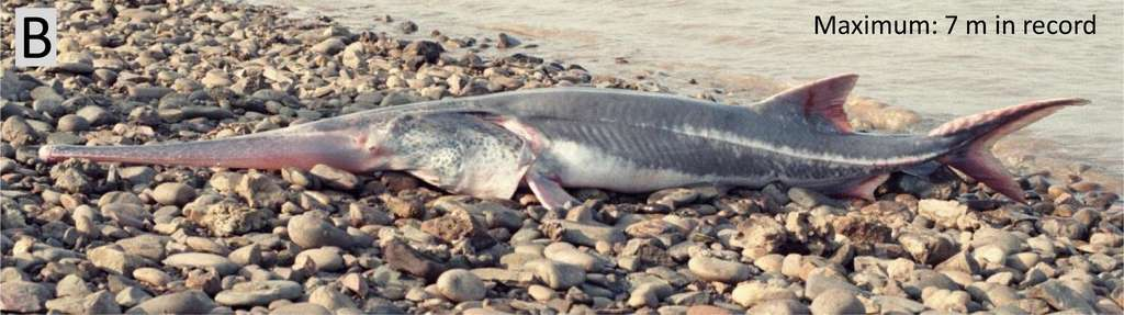 L'espadon chinois, surnommé « le roi des poissons d'eau douce », se serait éteint en 2005 et 2010. © Wei Qiwei et al, Science of the Total Environment, 2020