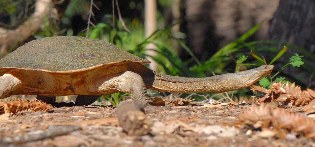 Vue sur le cou de la tortue. © Flickr, Sam Fraser-Smith, cc by 2.0