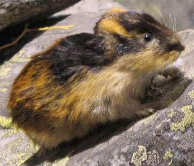 Lemming. © Wikipedia, domaine public