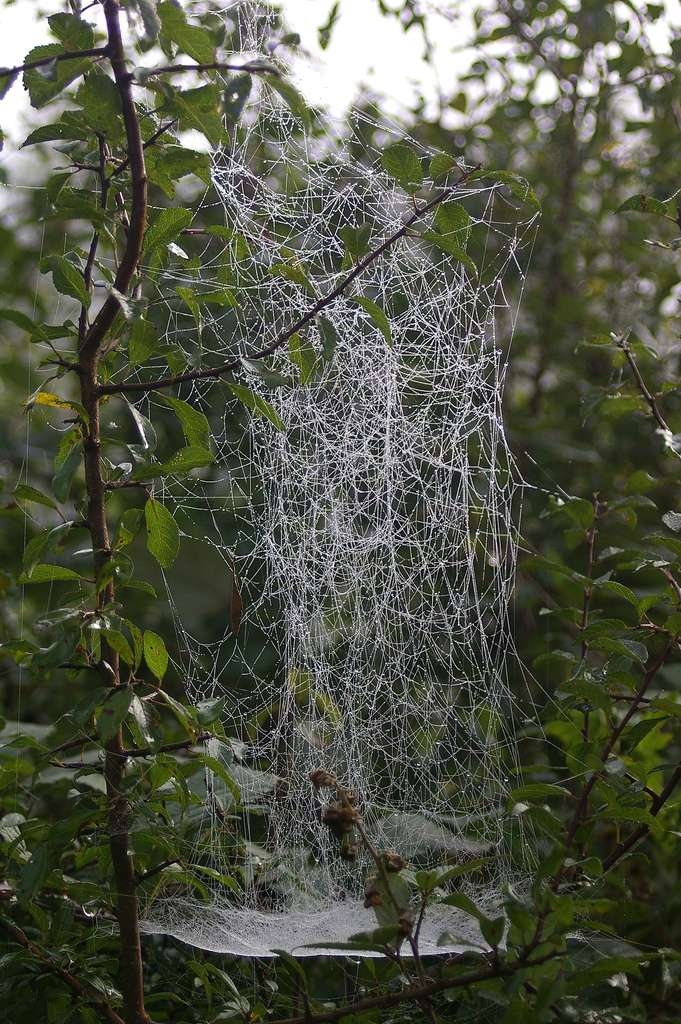 Toile d'Agelena labyrinthica. © Max xx, Flickr, cc by nc sa 2.0