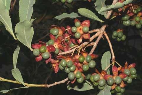 Ochna rhizomatosa - Le fruit, le deuxième organe de mobilité des plantes (vecteur = animaux) © Photo Philippe Birnbaum - Tous droits de reproduction réservés