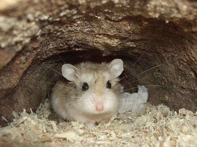 Espèce récente, le hamster (ici, Phodopus roborovskii) aurait une moindre capacité d'adaptation aux variations climatiques à venir que le crapaud buffle (Rhinella marina), une espèce plus ancienne. © Bullet, Wikimedia Commons, CC by-sa 3.0