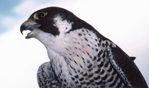 Bec de faucon. © Reproduction et utilisation interdites