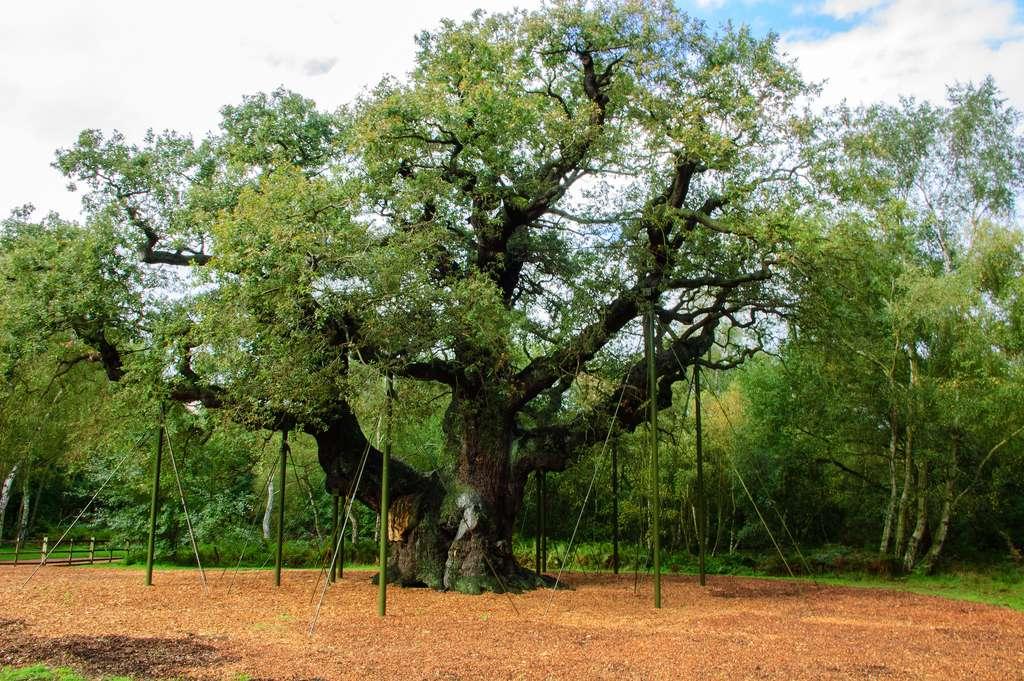 La légende raconte que le Major Oak aurait servi de repaire pour Robin des Bois. © Marjo van Diem, Flickr