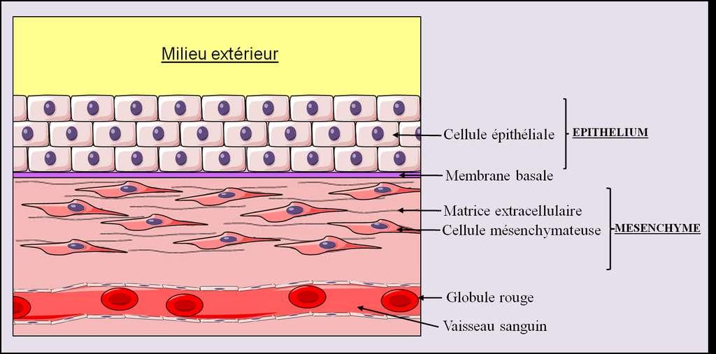 Figure 3. Schéma général de l'organisation tissulaire d'un organe. On peut voir le mésenchyme et l'épithélium. © Grégory Ségala