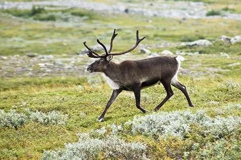 Un renne, aussi appelé caribou (Rangifer tarandus) dans la vallée du Kebnekaise, dans les Alpes scandinaves (Suède). © Alexandre Buisse, GNU LDL 1.2