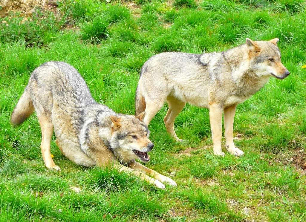 Loups de l'Est. © Patrick Straub