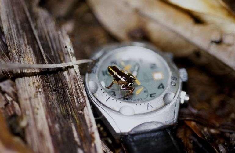 Avec ses 10 mm, la grenouille Eleutherodactylus iberia, qui vit à Cuba, est l'un des plus petits amphibiens du monde. Elle est considérée comme en danger critique d'extinction. © Pierre Fidenci, Wikimedia Commons, CC by-sa 2.5