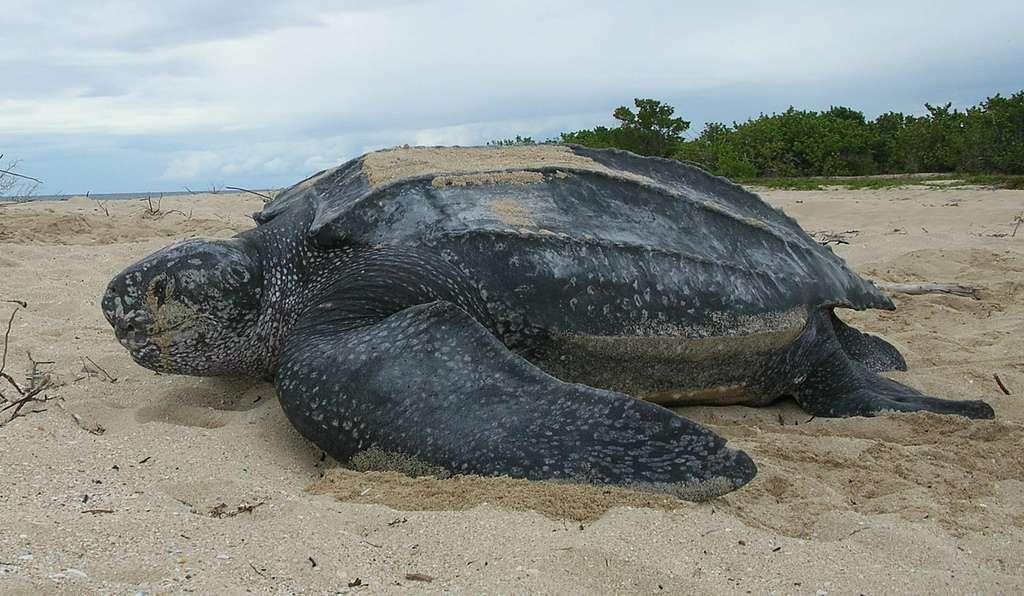 La tortue luth peut mesurer jusqu'à deux mètres et peser 450 kg à l'âge adulte. © Flickr, USFWS Southeast, cc by sa 2.0