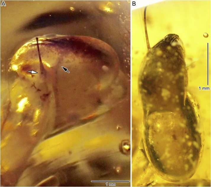 On peut voir l'un des deux yeux de l'escargot, piégé dans une petite bulle d'air. © Xing et al., Cretaceous Research, 2018