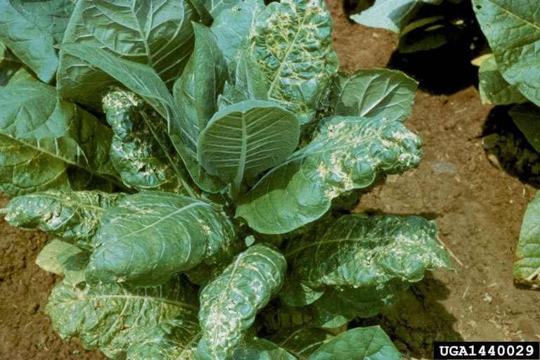 Le virus des taches en anneaux du tabac (TRSV) appartient à la famille des secoviridés, ce qui signifie que ses virions font 25 à 30 nm de diamètre. Il est également transmis de plante en plante par les vers nématodes. © R.J. Reynolds Tobacco Company Slide Set, Forestry Images, cc by 3.0