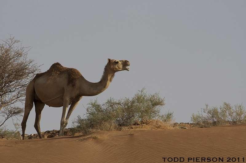 Dromadaire dans un désert des Émirats arabes unis. © Todd W Pierson, Flickr, cc by nc sa 2.0