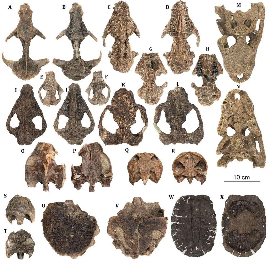 Un échantillon représentatif des fossiles de vertébrés retrouvés sur le site de Corral Bluffs. Au fur et à mesure du temps, les animaux sont de plus en plus gros et diversifiés. © Tyler Lyson et al, Science, 2019