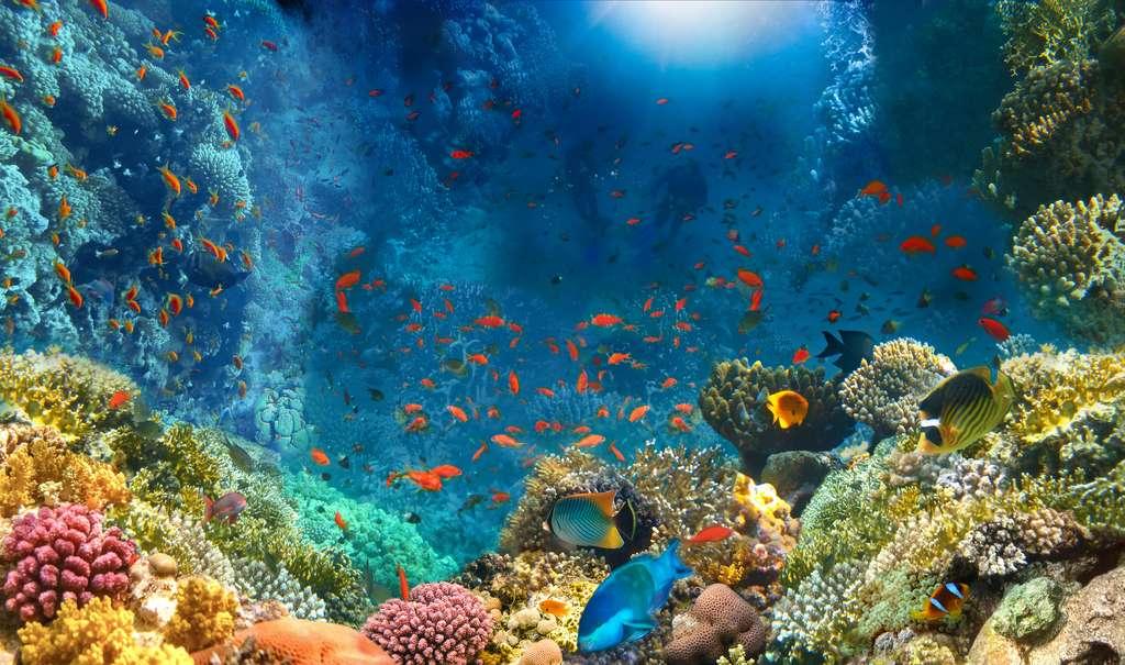 Les coraux sont des animaux qui vivent, la plupart du temps, dans des colonies appelées « polypes ». Dotés d'un exosquelette calcaire, les coraux dits constructeurs de récifs font partie de l'ordre des Scleractinia. Ils vivent souvent en symbiose avec des végétaux unicellulaires comme des algues. © Solarisys, Adobe Stock