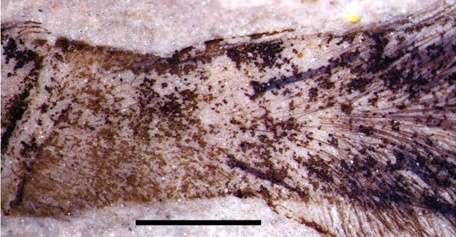 Les poils (ou setae ou trichobothries) sont très visibles au niveau des tibia de l'araignée fossilisée. © Biology Letters