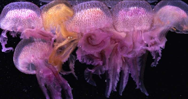 Groupe de méduses Pelagia en Méditerranée
