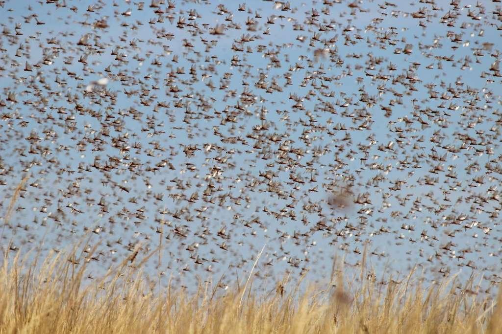 Contre les essaims de criquets qui déciment les champs de coton, le poulet chinois ! ©FAO/C