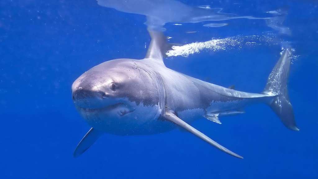 Le grand requin blanc : le maître des océans