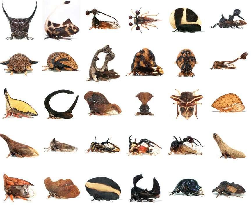Les membracides : une surprenante famille d'insectes parés d'un casque qui recouvre le corps et les camoufle. Cet apanage est une modification d'une paire d'ailes surnuméraire. © Nicolas Gompel