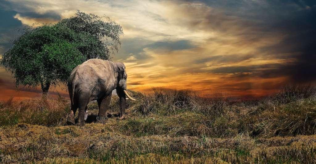 Le gène zombie LIF6 joue un rôle clé dans le processus qui aide l'éléphant à se préserver des cancers. © joeclub_ake, Pixabay, CC0 Creative Commons